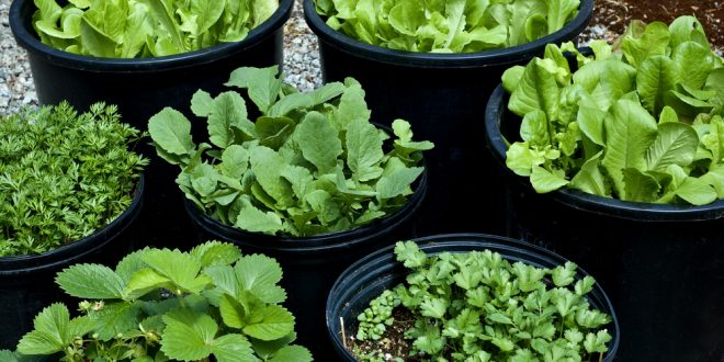 Grow Vegetables in Container Gardens