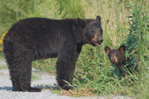 Black bears in Alabama mama and cub