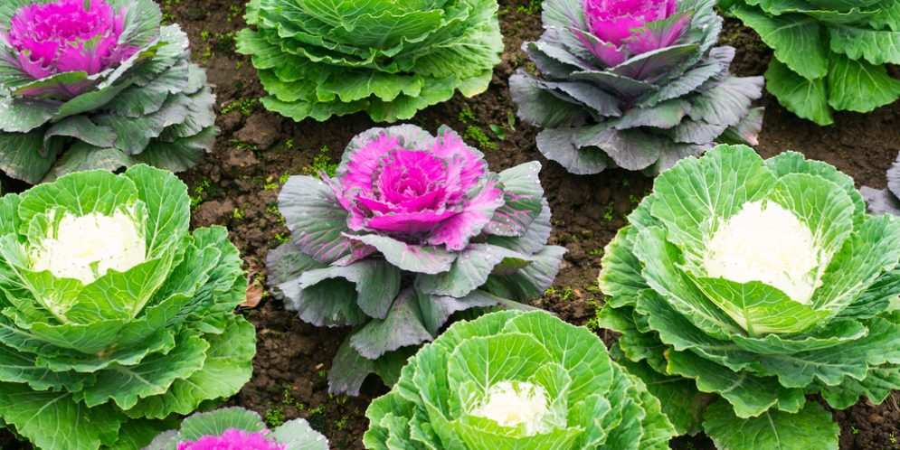 Ornamental Cabbages Offer Fall Color