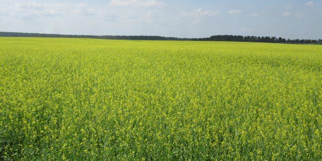 Carinata Field Day Scheduled at E.V. Smith Field Crops Unit