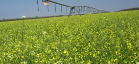Alabama Producers Growing Carinata for Biofuel