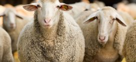 Extension Offers Statewide Health Management Workshops for Sheep and Goats