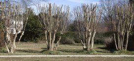 Pruning Crapemyrtles