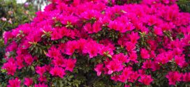 Buying and Planting Azaleas in Alabama