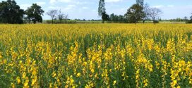 Sunn Hemp: Grazing Option for Producers