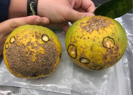 Sweet Orange Scab: New Cases Identified in Alabama