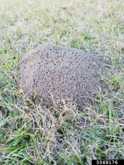 Fire ant mound.