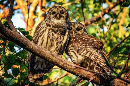 Two barred owls sitting in a tree.
