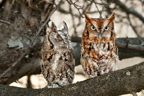 Two eastern screech owls, one of each color variation.