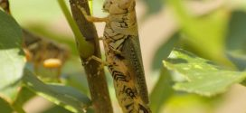 Photo of differential grasshoppers feeding on a stem. Photo by Mike Zapata, Frisco Urban Forestry Board, bugwood.org.