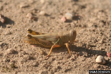 Photo of differential grasshoppers. Photo by Whitney Cranshaw, Colorado State University, bugwood.org.