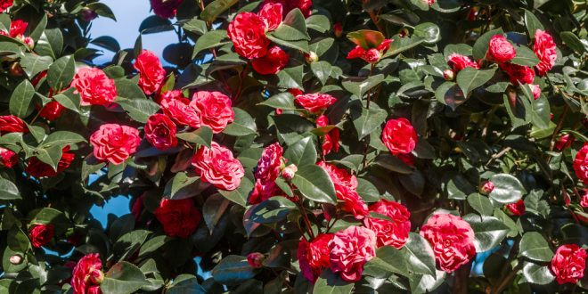 Selecting, Planting and Caring For Shrubs