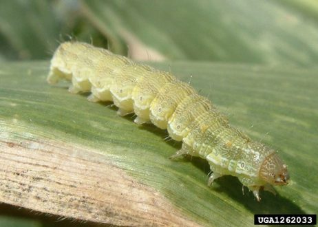 Cotton bollworm crawling on a corn plant. Image by Antoine Guyonnet, Lépidoptères Poitou Charentes, Bugwood.org.