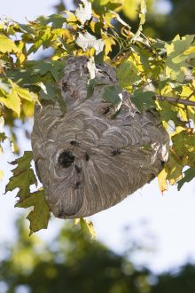 Hornets nest in a tree.