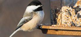 Bird Feeding Tips for the Backyard Birder