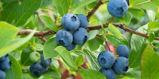 Planting Blueberries This Fall