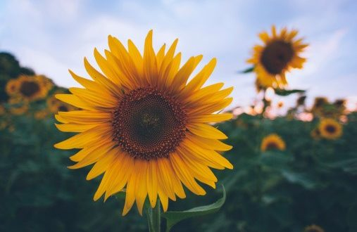 Sunflowers Provide Color to Landscapes