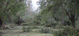 Pecan orchard damage in Houston County, Alabama.