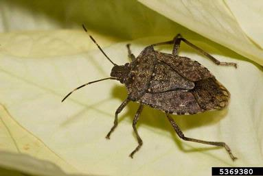 Stink Bugs: Unwelcome Fall Guests