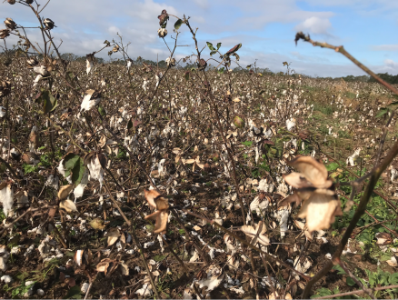 hurricane-damaged cotton