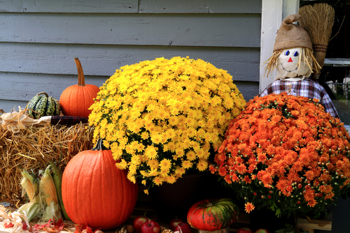 Mums, pumpkins and hay bales.