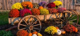 Mums and pumpkins on an old wagon.