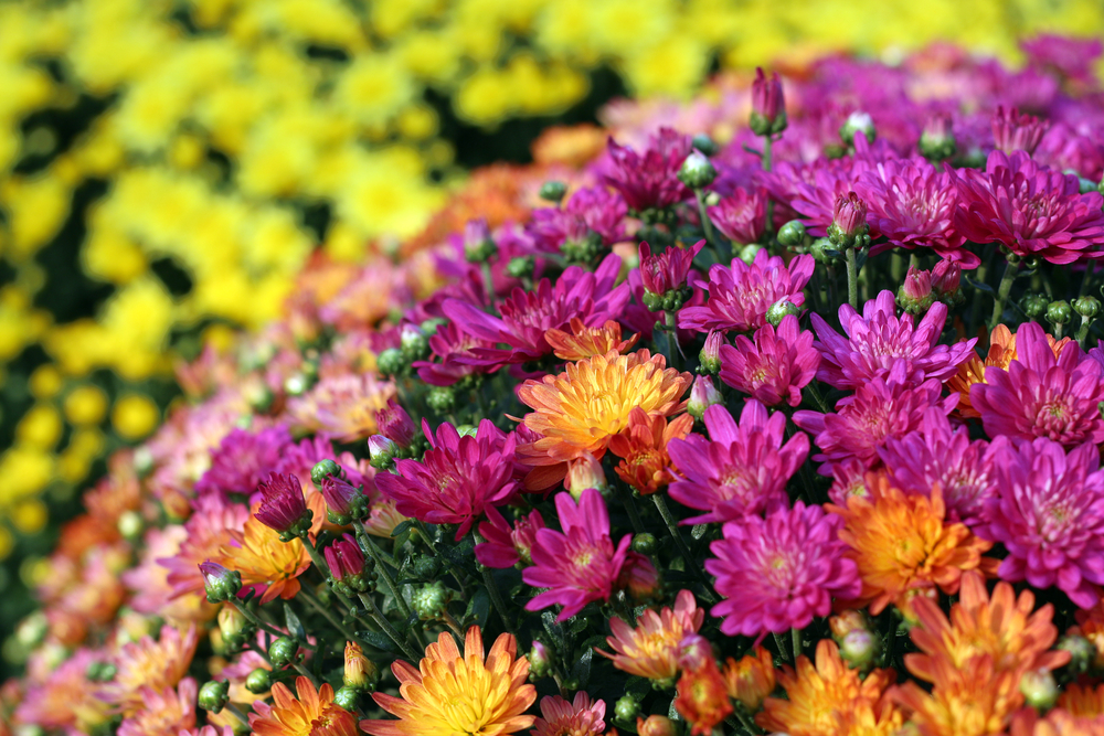 A close up of purple and yellow mums