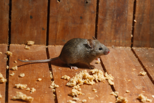 Keeping mice out of your house extension daily