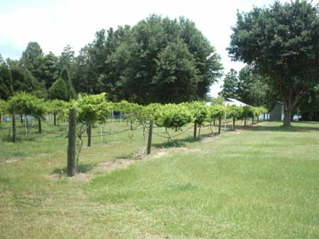 Muscadines The Southern Fruit Extension Daily