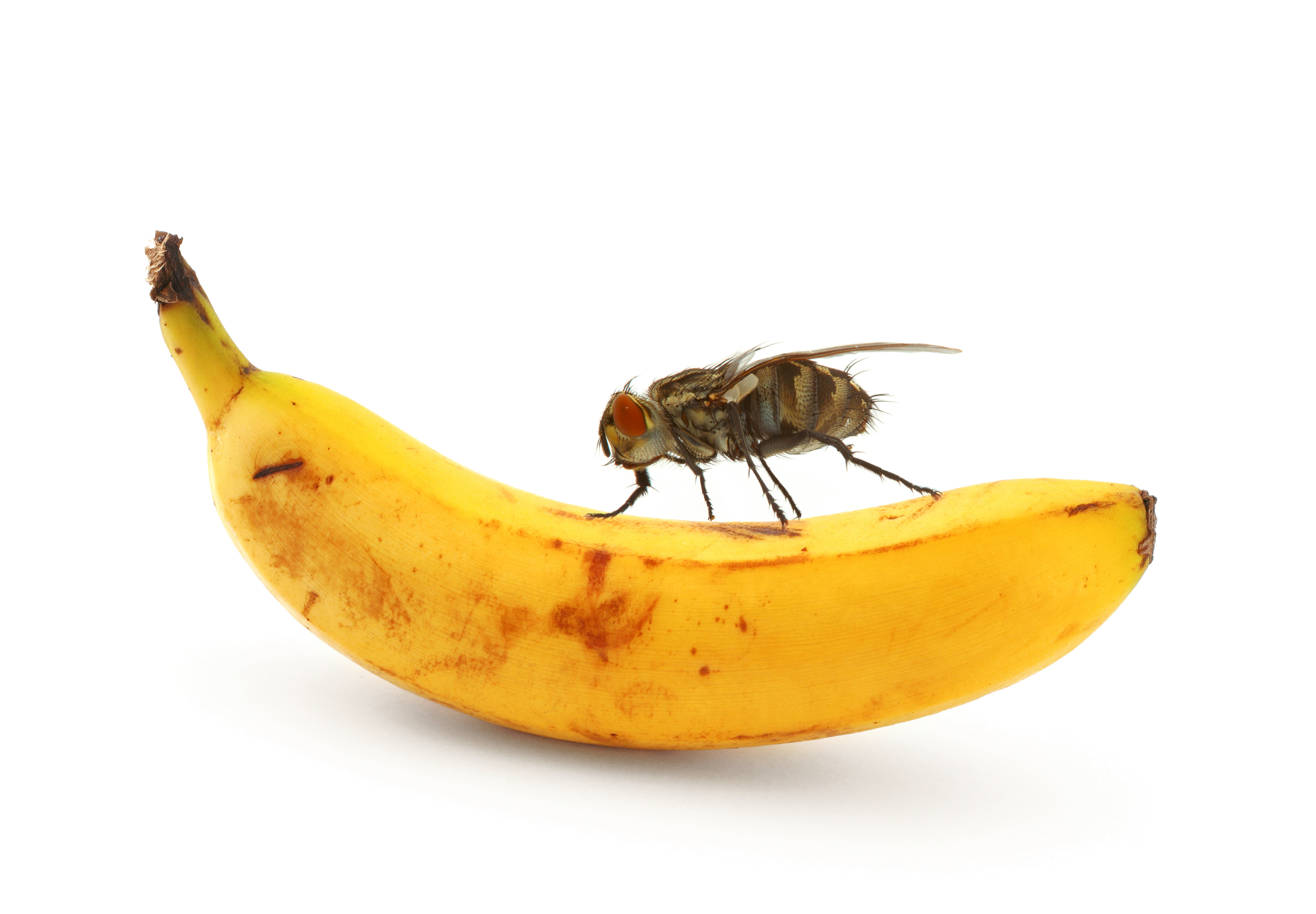 fruit fly Take back your fruit bowl with these six clever strategies to kill fruit flies.