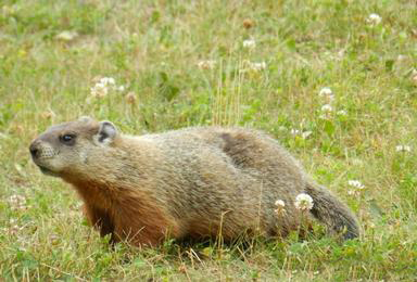 All In A Name Woodchuck Ground Hog Or Whistle Pig