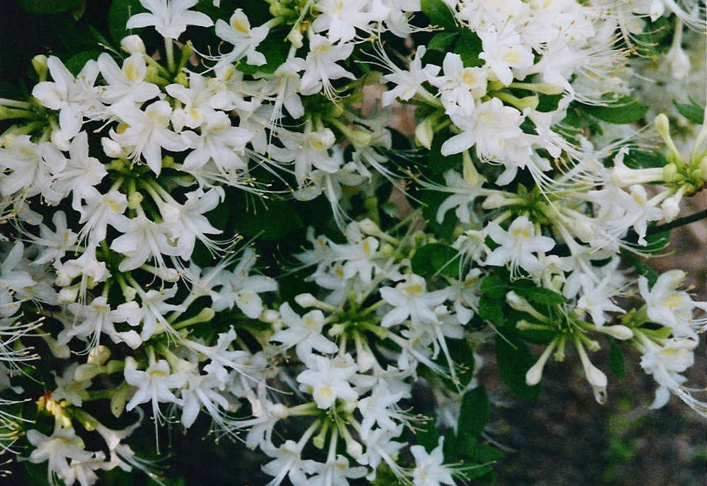 Azaleas and rhododendrons extension daily mightylinksfo
