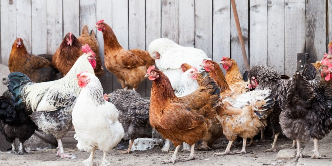 Chickens Backyard protecting backyard chickens from disease - extension daily