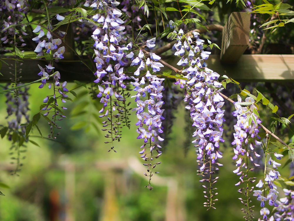 Wisteria making the best of wild vines extension daily for The wisteria