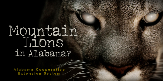 mountain lions in alabama extension daily