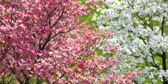 Dogwoods bloom signal spring extension daily dogwoods bloom signal spring mightylinksfo