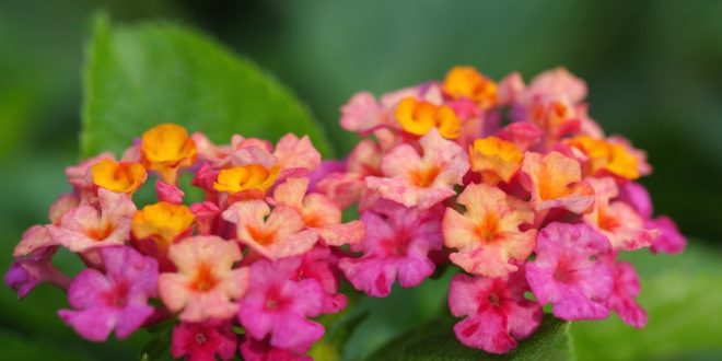 Lantana Hard Working Shrub For Home Landscapes Extension Daily