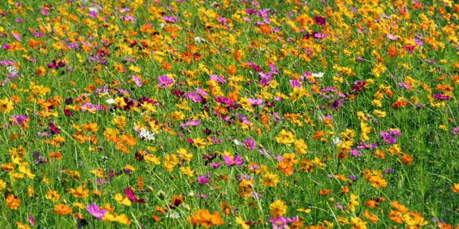 Grow a Wildflower Meadow in Your Backyard - Extension Daily
