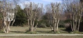 Pruning Crapemyrtles