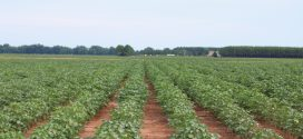 Odd Weather Conditions Leave Cotton Producers Concerned