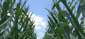 Photo of the top of two rows of field corn with a blue sky background.
